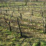 65. vinograd počiva